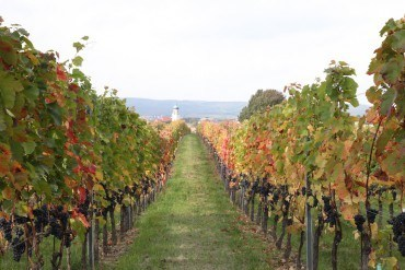 On the Vine: Burgenland – A Thousand Wines a Day